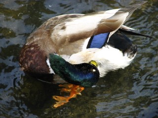 Male Mallard (Anas platyrhynchos) preening. Photo by Donna L. Long.