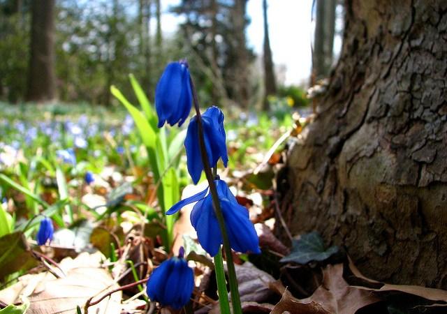 Spring woodland flower at Temple University Ambler