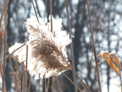A plume of grass blowing in a cold winter wind.
