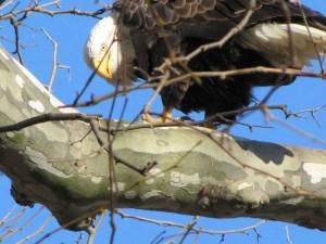 Bald Eagle (Haliaeetus leucocephalus) Fierce, majestic and beautiful.