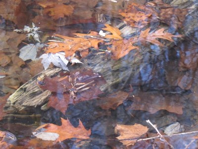oak leaves floating in a stream during the fall season