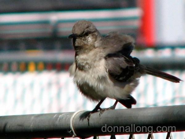 bird_mockingbird