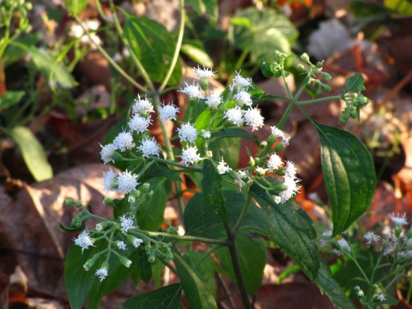 White Snakeroot (Ageratina altissima) in bloom in my garden. Photo by Donna L. Long.