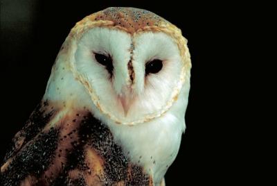 Barn Owl (Tyto alba) courtesy USFWS