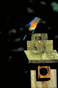 Eastern Bluebird perched on birdhouse