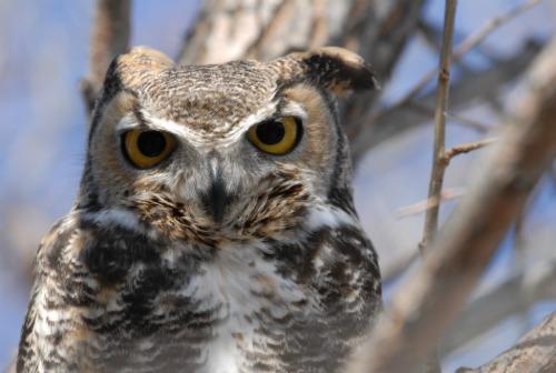 Great Horned Owl (courtesy USFWS/Dave Menke)
