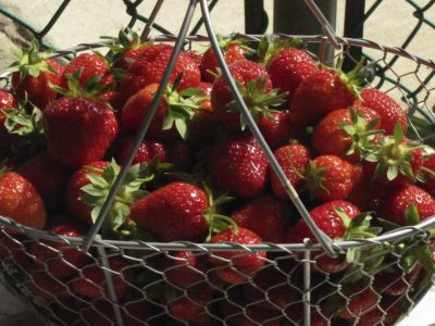 strawberries grown in my garden