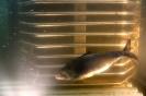 Shad fish in fish ladder in Schuylkill River