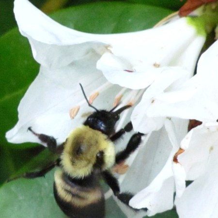 Bee on Rhododendron in my garden