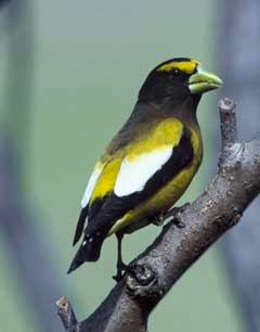Evening Grosbeak (Coccthraustes vespertinus). Courtesy US Fish & Wildlife Service Digital Library.