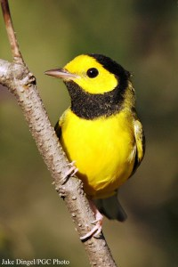 Hooded Warbler (Wilsonia pusilla). Photo courtesy Jake Dingel/Pennsylvania Game Commission.