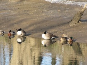 ducks huddled in the cold
