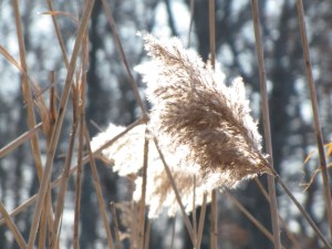 grass plumes