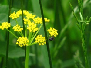 Golden Alexanders in bloom