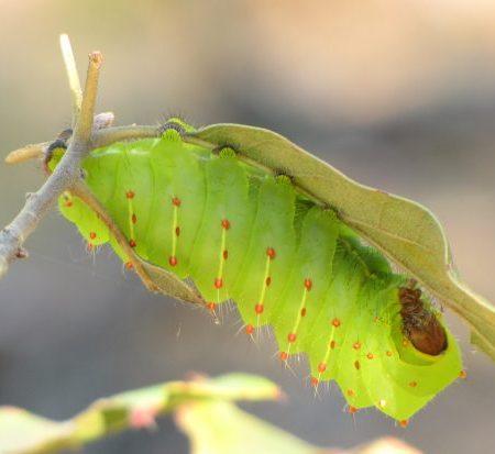 Polyphemus moth caterpillar (Antheraea polyphemus) in New Jersey Pinelands. Photo by Donna L. Long.