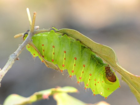 Polyphemus moth caterpillar (Antheraea polyphemus) in New Jersey Pinelands. Photo by Donna L. Long.