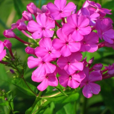 Summer Phlox (Phlox paniculata) blooming in my garden.