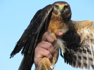 Northern Harrier (Circus cyaneus). Photo by Donna L. Long