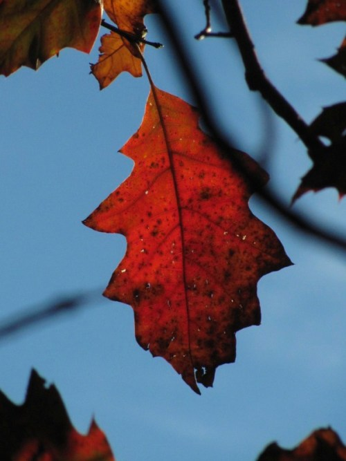 Northern Red Oak (Quercus rubra). Photo by Donna L. Long