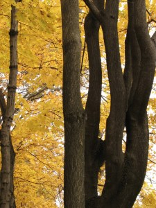 brilliant yellow leaves and dark tree trunks. Photo by Donna L. Long.
