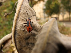 milkweed bug on milkweed pos in autumn. Photo by Donna L. Long.