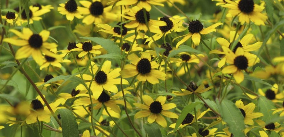 Thin-leaved Coneflower (Rudbeckia triloba) Photo by Donna L. Long
