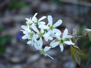 shadbush (serviceberry) blooms in spring