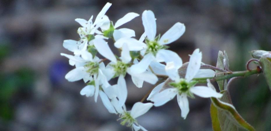 shadbush (serviceberry) blooms in spring