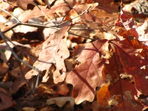 White Oak leaves in Wissahickon Valley Park in fall. Photo by Donna L. Long.