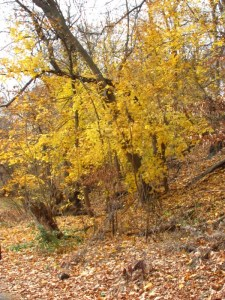 Golden leaves in the fall in the Wissahickon Valley Park. Photo by Donna L. Long.