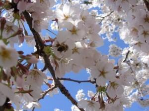 Dogwood tree in spring