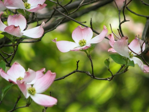 Dogwood - a tree native to Philadelphia