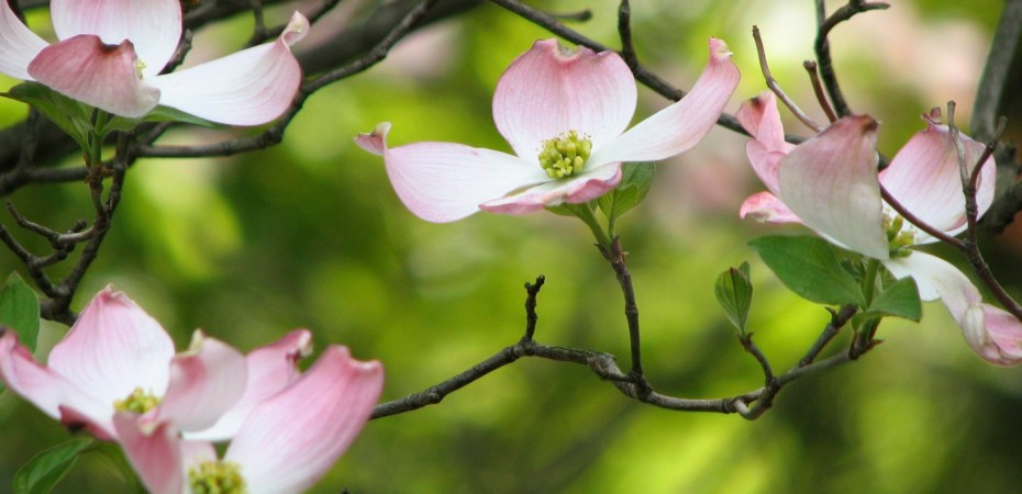 Spring bloom of a dogwood tree