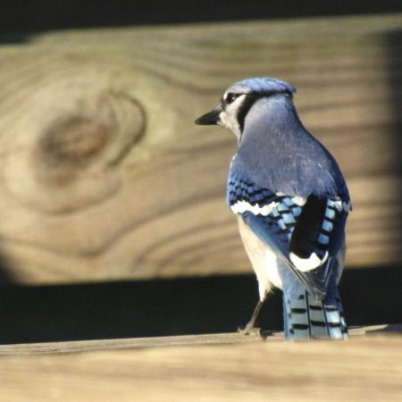Blue jay at Fort Washington State Park