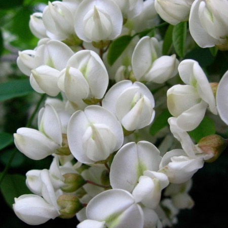 Black Locust (Robinia pseudoacacia) blooms in the spring. Photo by Donna L. Long.