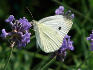 A Cabbage White (Pieris rapae) butterfly visiting my garden.
