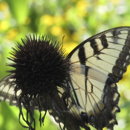 Eastern Tiger Swallowtail drinks nectar