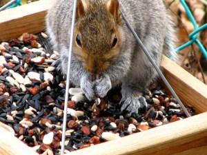 squirrel eating bird seed