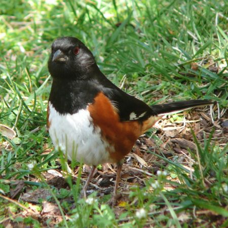 A male Eastern Towhee (Pipilo erythrophthalmus) feeding in the grass. Public domain photo courtesy Ken Thomas.