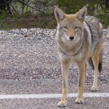 mammals-coyote