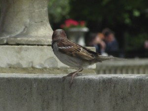 House Sparrow in Luxembourg Gardens. House Sparrows are native to Europe not North America. Photo by Donna L. Long, 2014. All rights reserved.