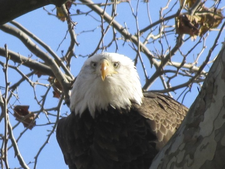 I wonder if this Eagle was looking directly at me as I took this photo.