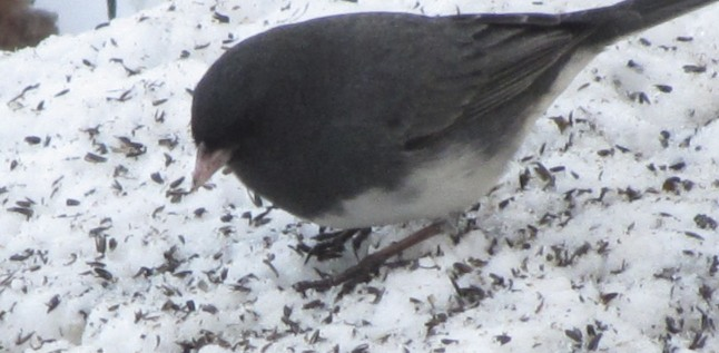 Dark-eyed Juncos foraging for niger seeds