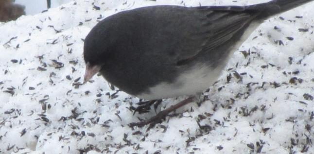 Dark-eyed Juncos foraging for niger seeds