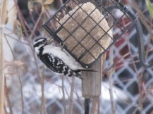 Female Hairy Woodpecker eating suet at my buffet.