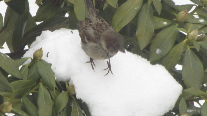 A sparrow on an icy ledge
