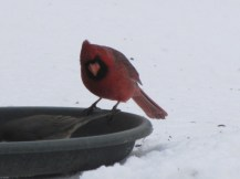 Male Cardinal waiting his turn at a feeding tray in my garden.