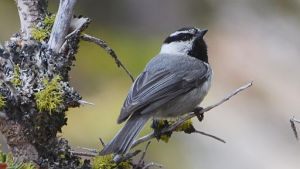 bird - Mountain_Chickadee_(14422009880) By Andy Reago & Chrissy McClarren (Mountain Chickadee) [CC BY 2.0 (https://creativecommons.org/licenses/by/2.0)], via Wikimedia Commons