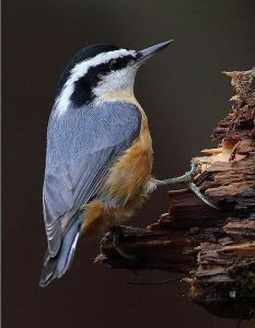 Red-breasted_Nuthatch_(Sitta_canadensis)5 By pbonenfant [CC BY 2.0 (https://creativecommons.org/licenses/by/2.0)], via Wikimedia Commons