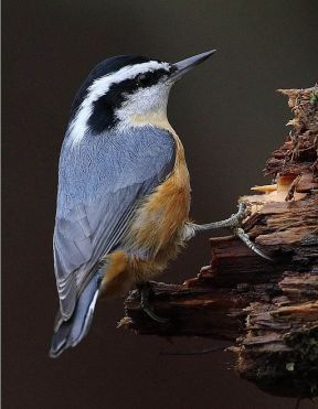 Red-breasted_Nuthatch_(Sitta_canadensis)5 By pbonenfant [CC BY 2.0 (http://creativecommons.org/licenses/by/2.0)], via Wikimedia Commons